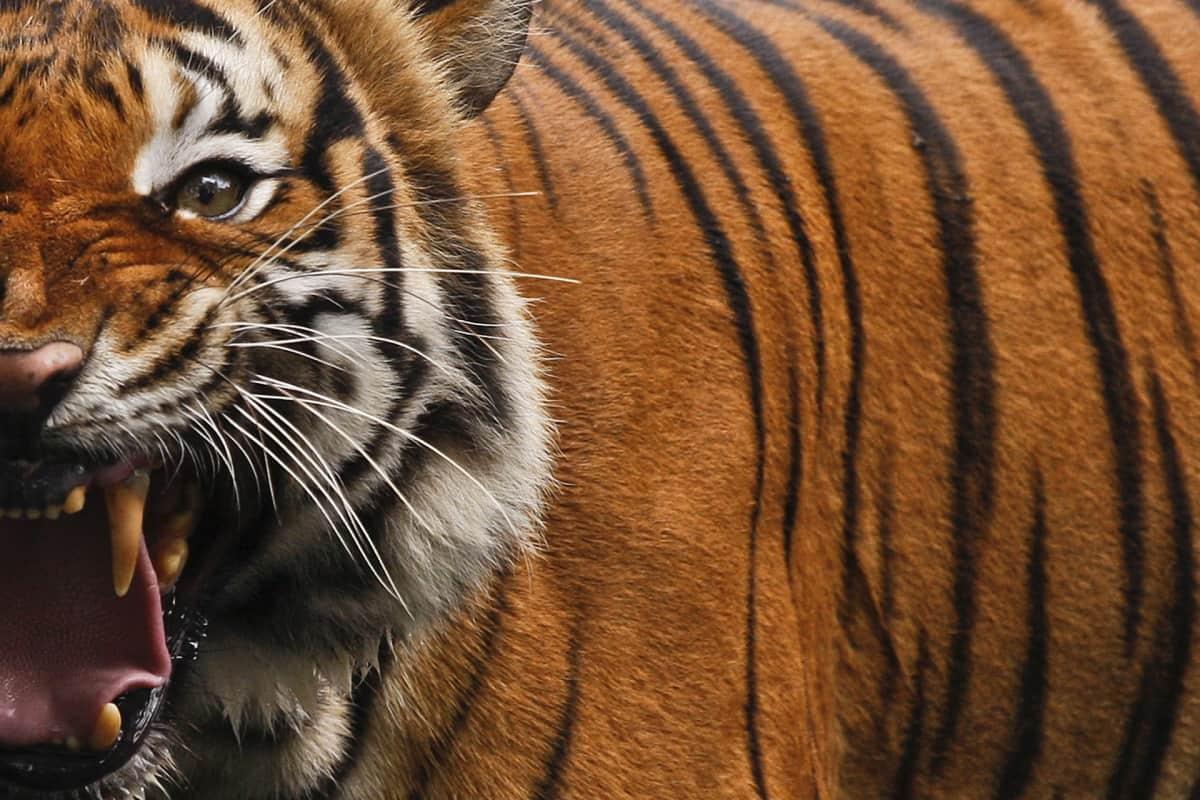 Tiikeri kita auki lähikuvassa.