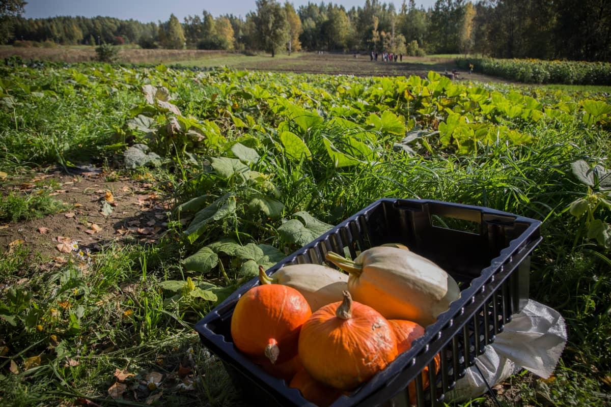 Perhon Liiketalousopiston pelto Malmilla Helsingissä tuottaa vihanneksia  ravinola-alan opintoja varten.