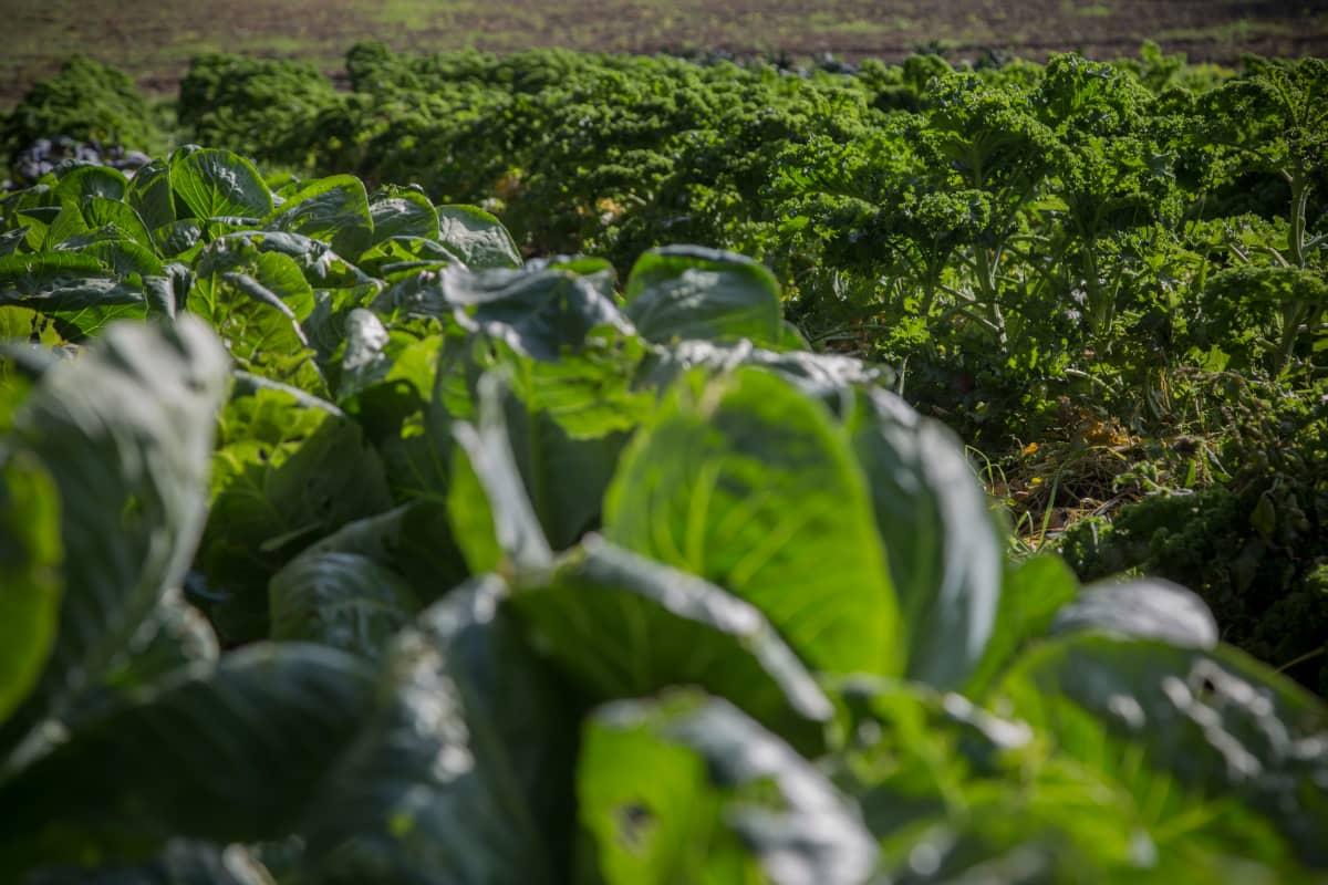 Lehtikaali odottaa ottajaansa Perho Green City Farmin viljelyksillä