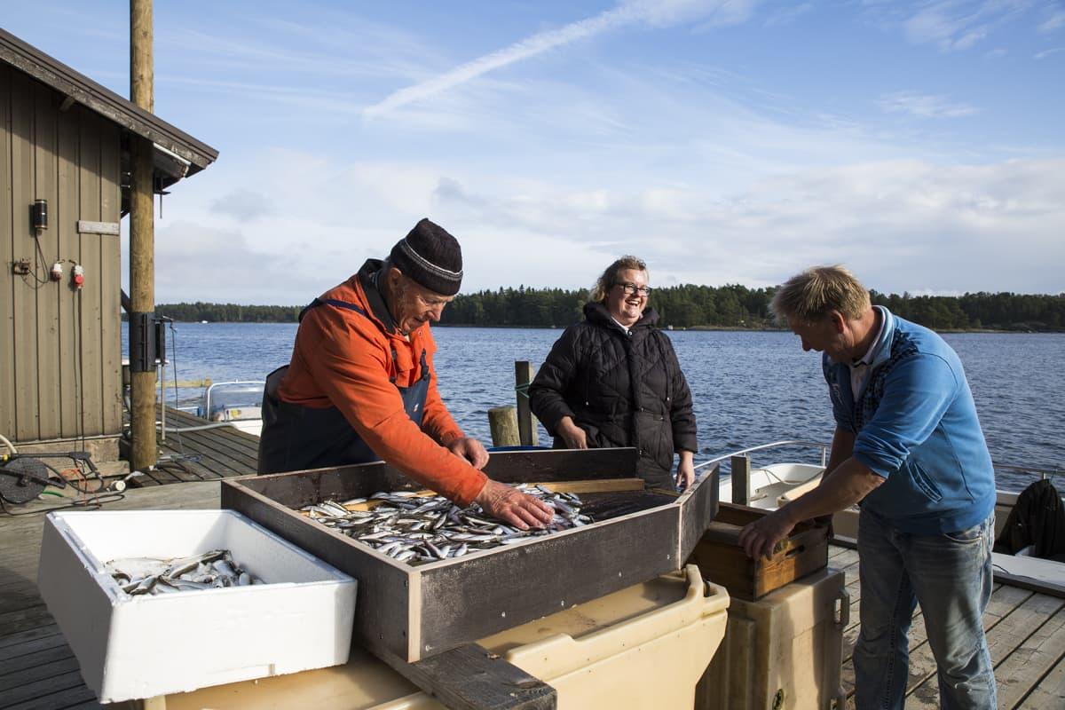 Pellinkiläiskalastajat Henrik, Johanna ja Jörgen Kellgren erottelevat silakoita kilohaileista