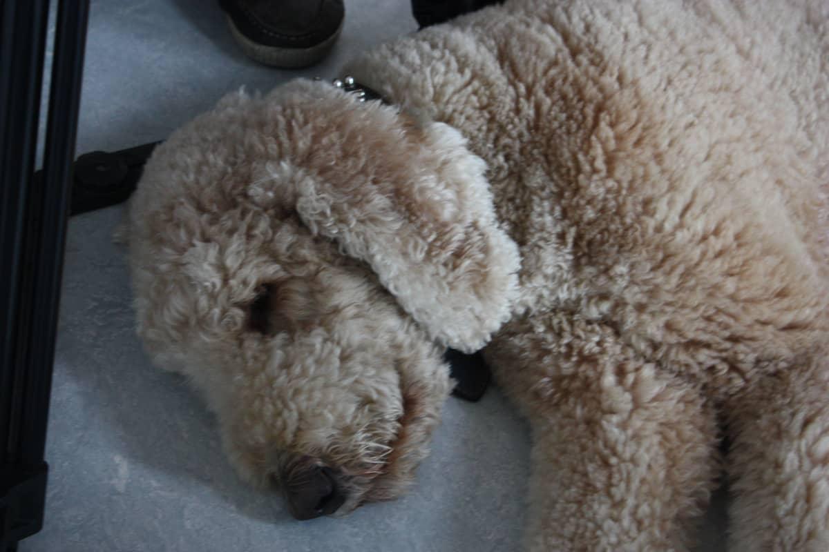 Koira makaa lattialla puolinukuksissa.