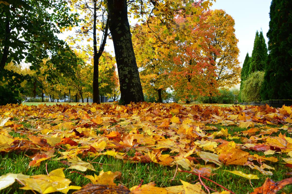 Fallna löv på en gräsmatta.