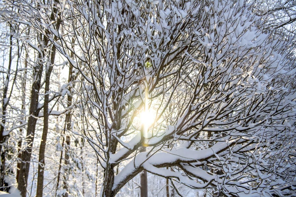 Talvisen auringon säteet valaisevat lumipeitteisen lehtimetsän oksia tammikuussa.