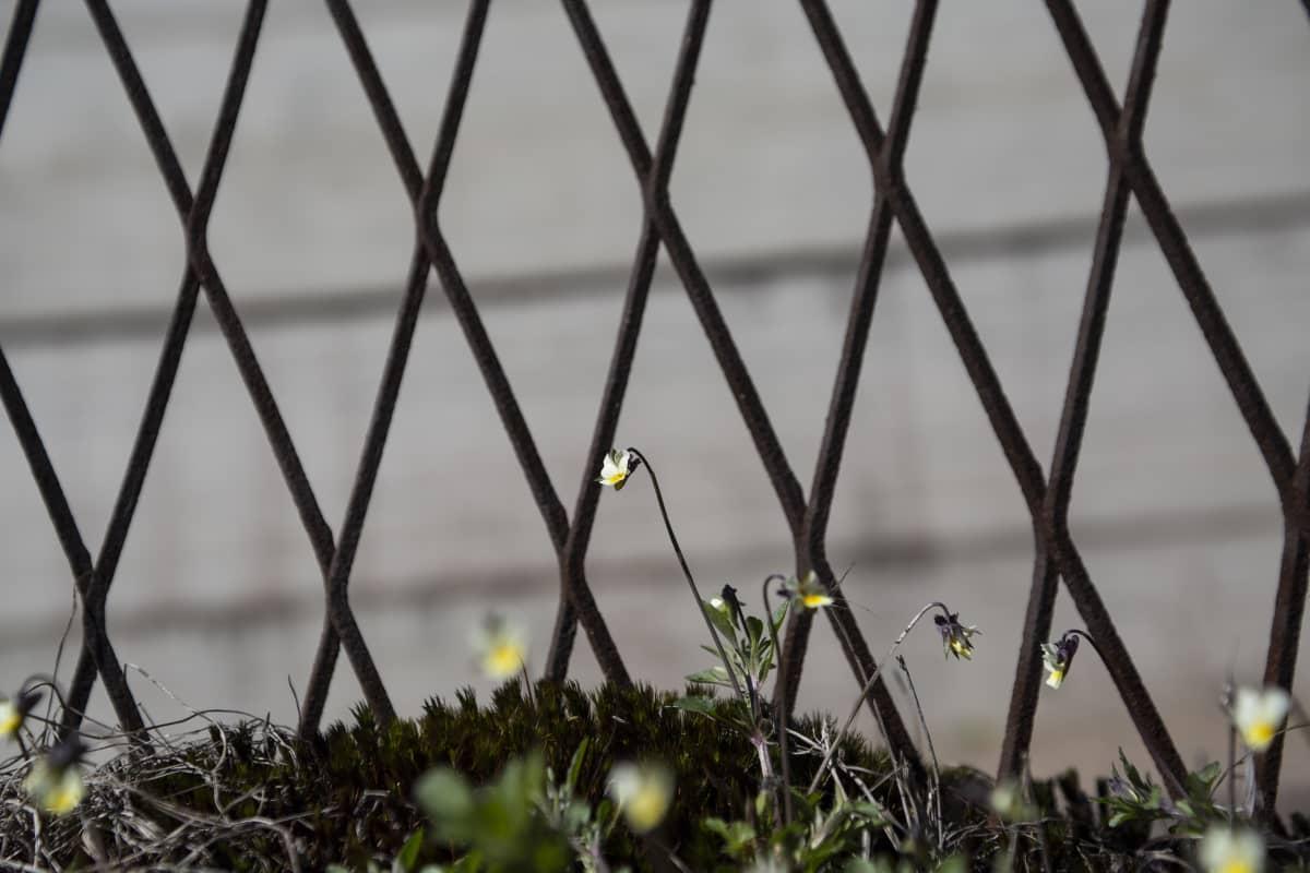 Vantaan vankilan turva-aitaa ja orvokkeja turva-aidan tällä puolen