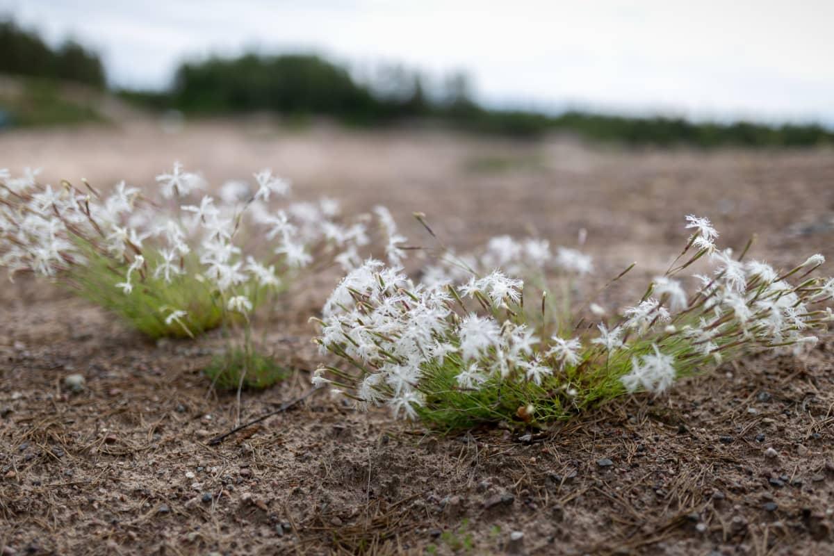 Rauhoitettu kasvi Hietaneilikka, Ruduksen ekosysteemihotelli (mätäs), Raasepori, Tiilimäki, 25.6.2019.