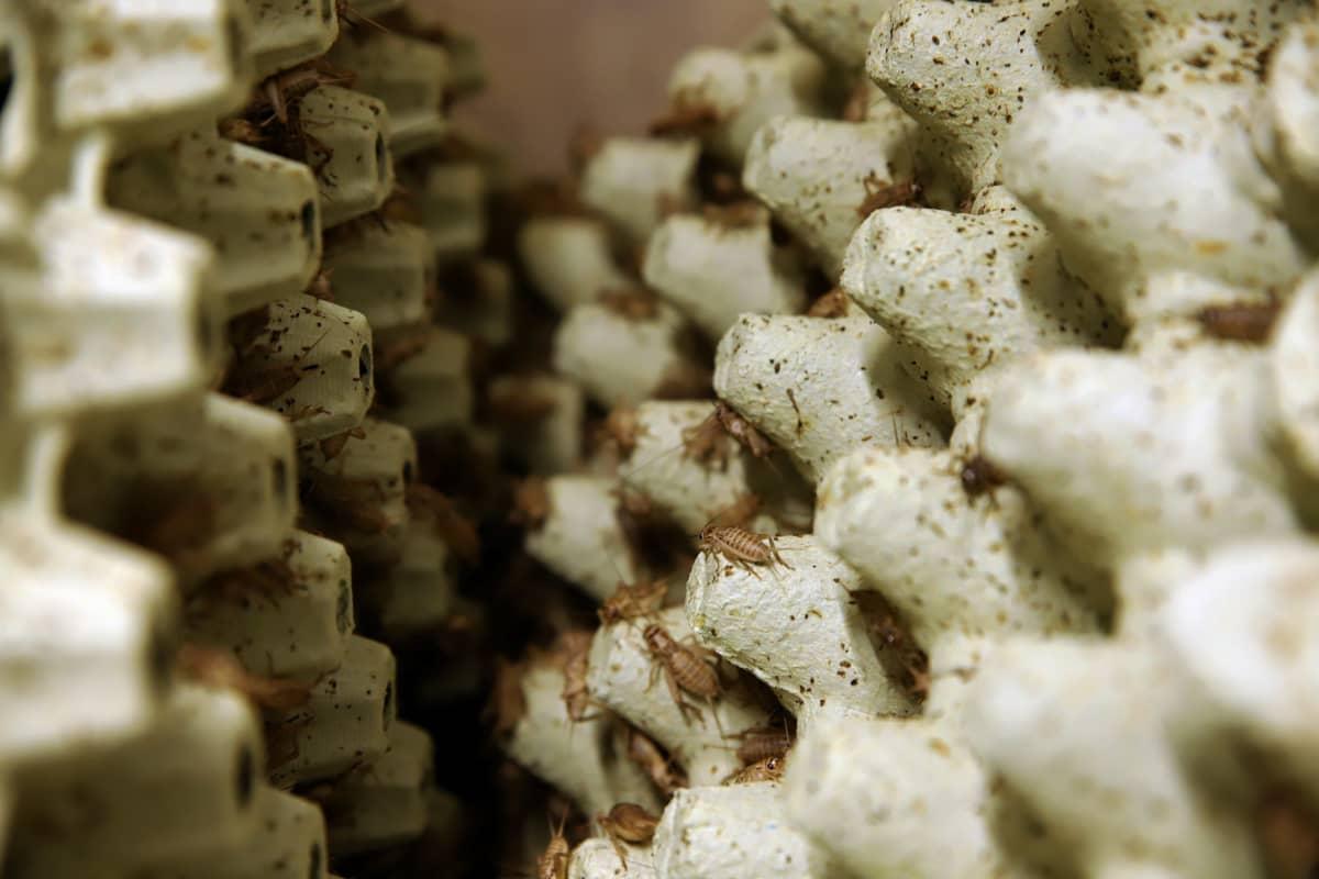 Sirkat kasvavat munakennojen uumenissa.