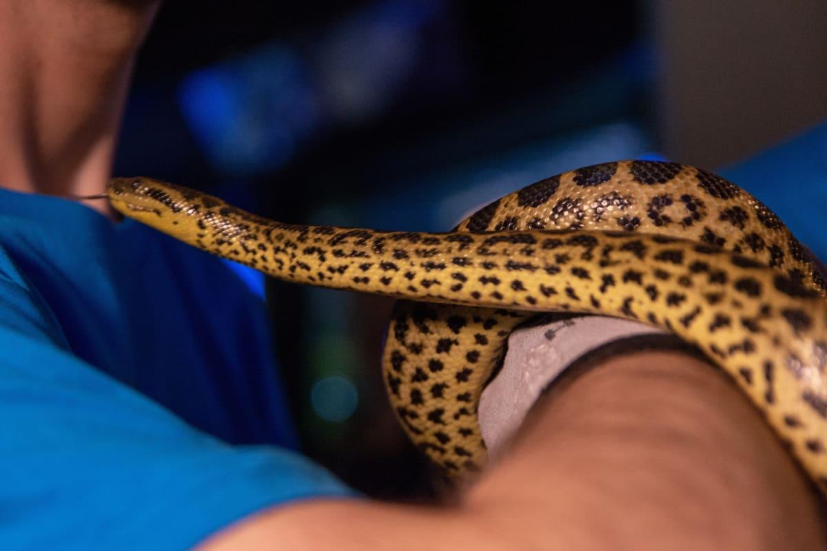 Keltainen anakonda