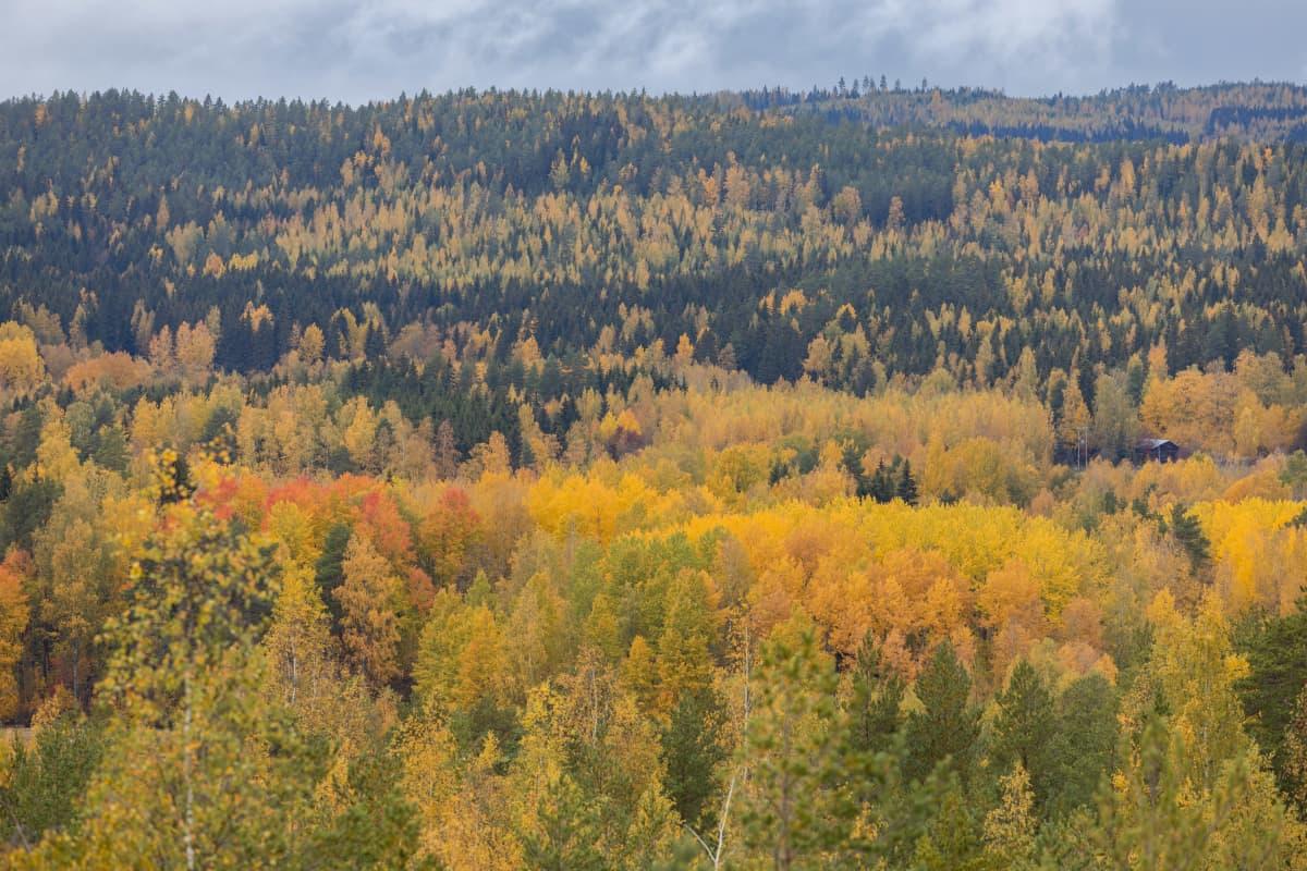 Padasjokelaista metsämaisemaa maisematornista kuvattuna.
