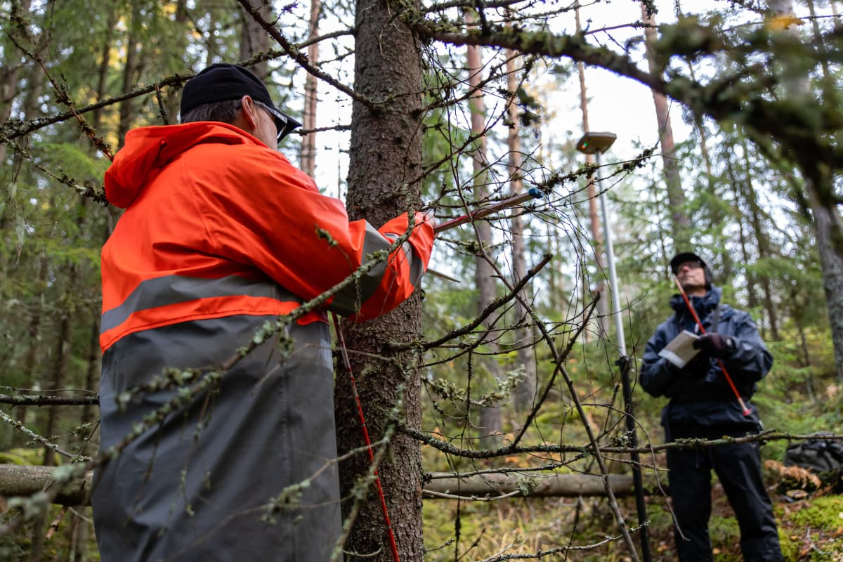 Luonnonvarakeskuksen tutkimusmestari Erkki Piiroinen ja asiantuntija Jouni Peräsaari mittaavat kuusen paksuutta metsässä.