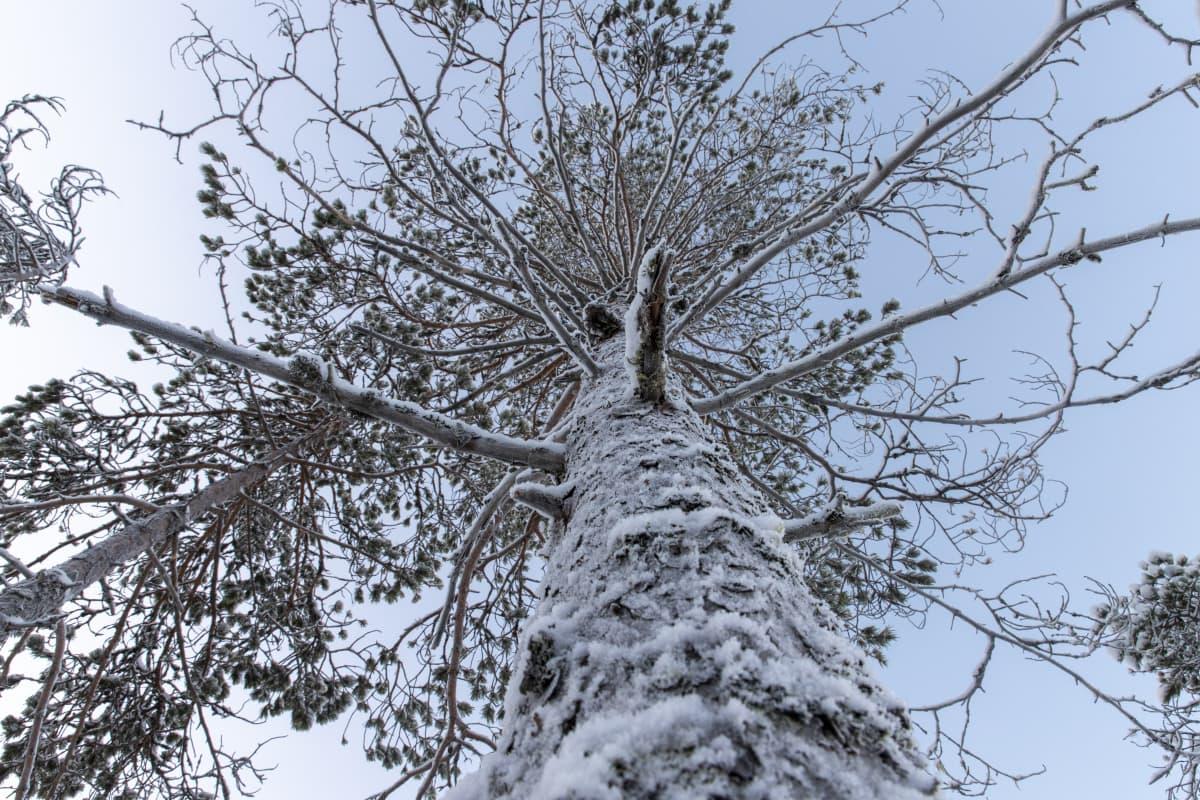 Kuurainen mänty talvisen taivaan alla