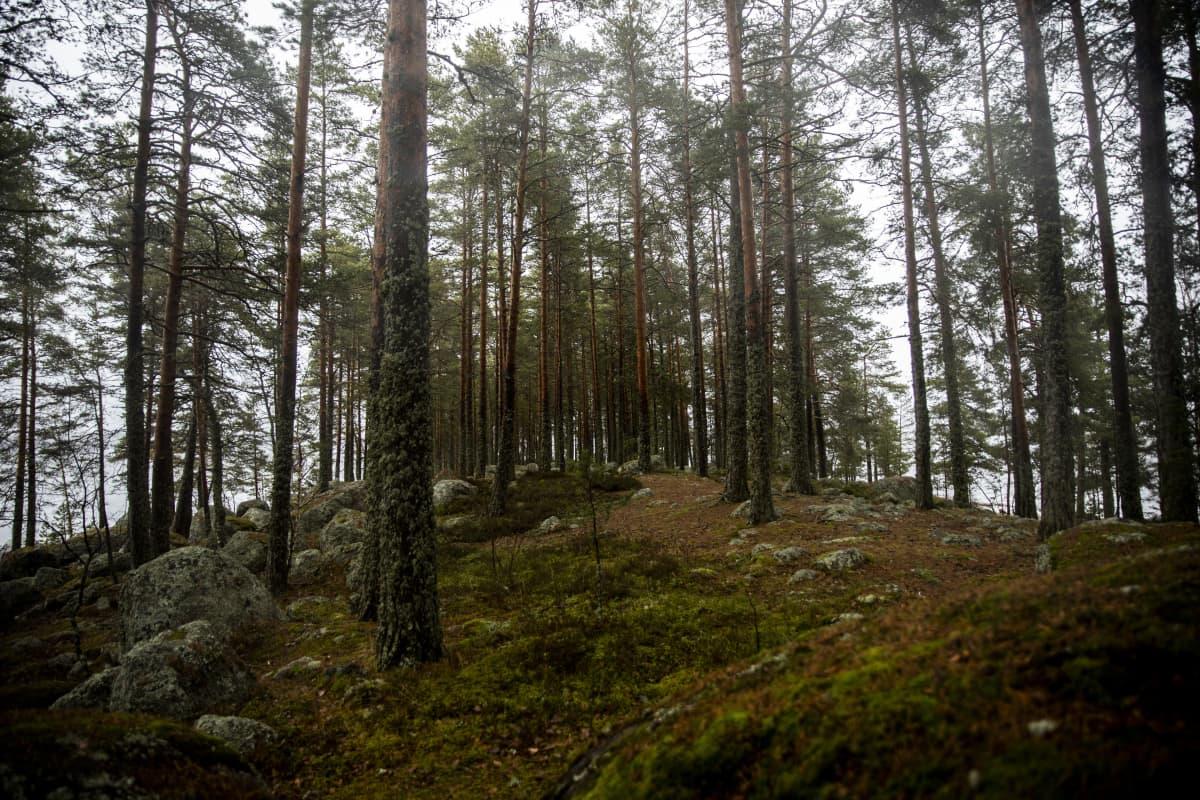 Metsää Sarviniemessä.