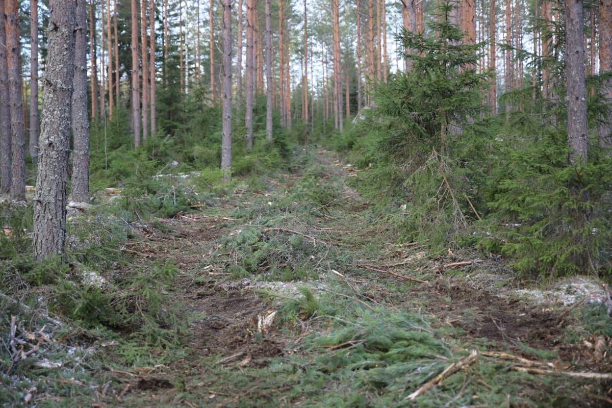 Metsäkoneen jäljet metsässä