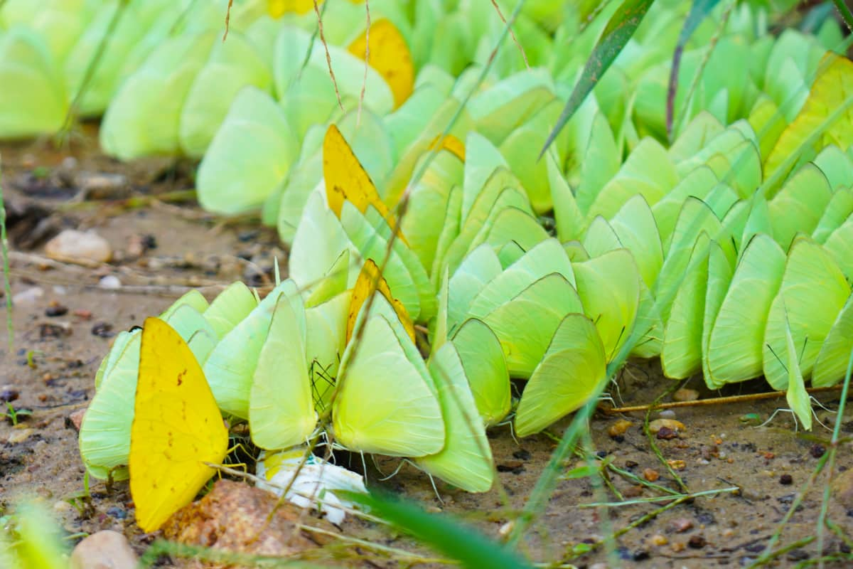 Perhosia Tapajós-joen varrella Amazonin sademetsässä.