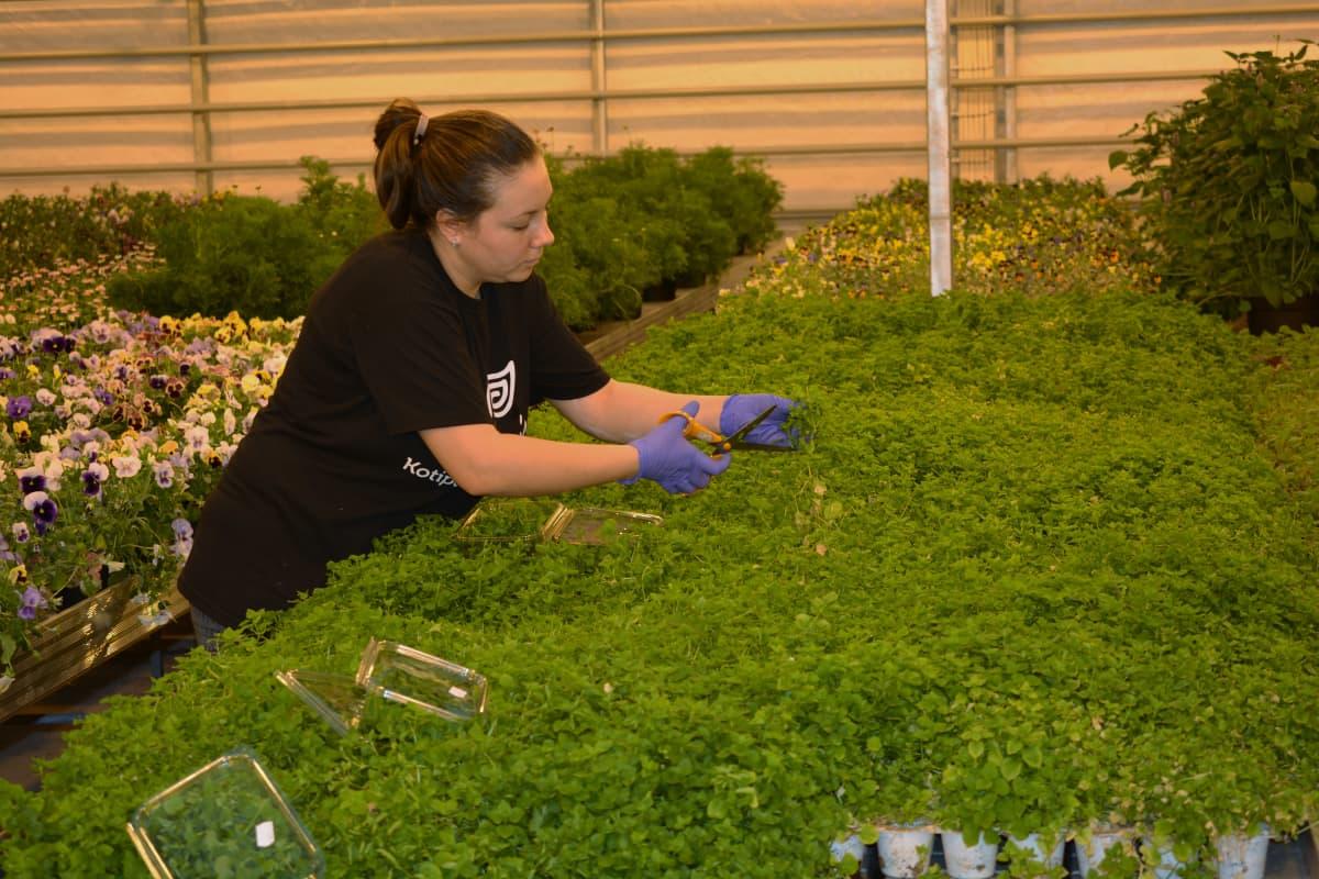 Nainen leikkaa versoja kasvihuoneessa.