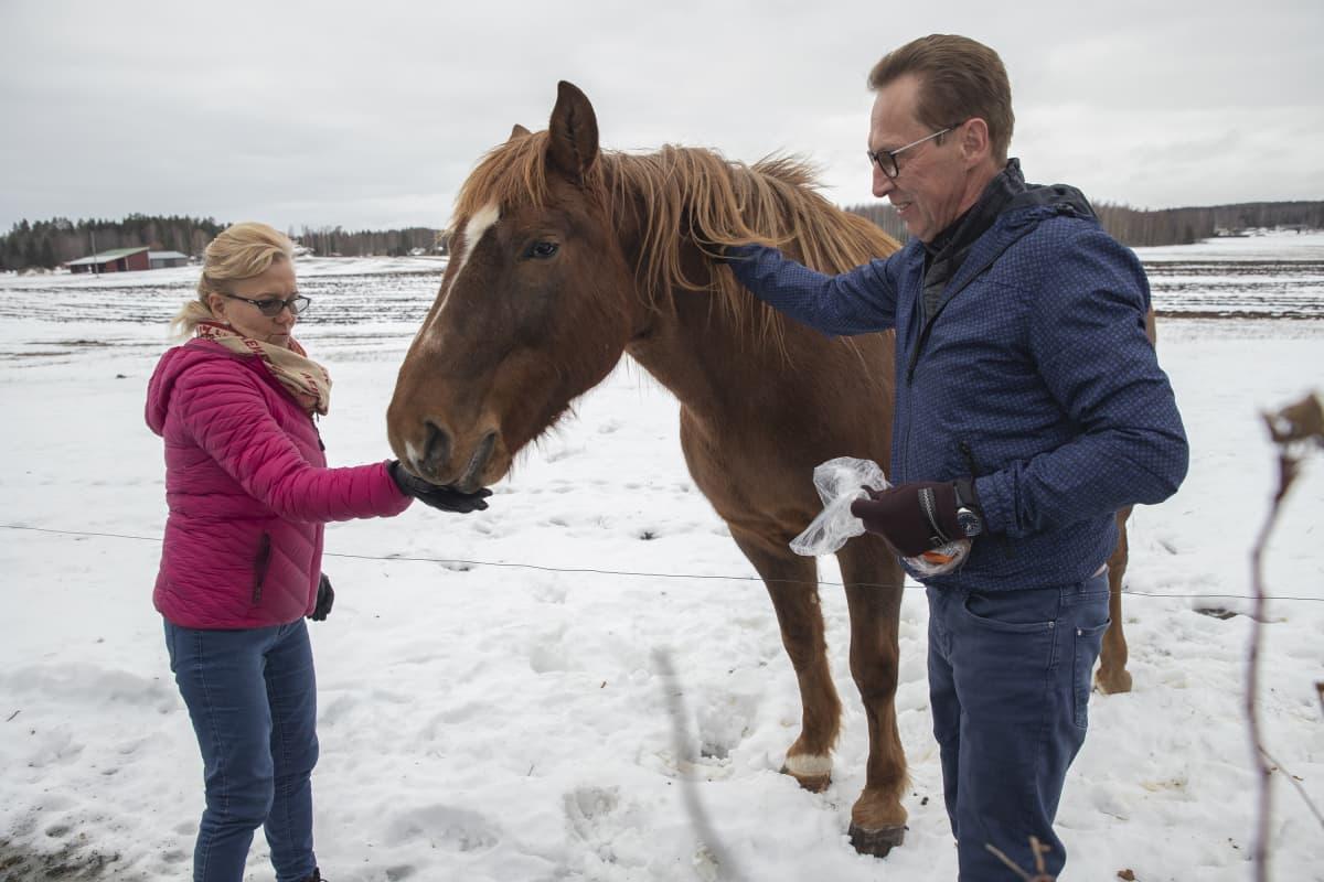Anitta Manninen ja Tomi Toivanen ruokkivat hevosta.