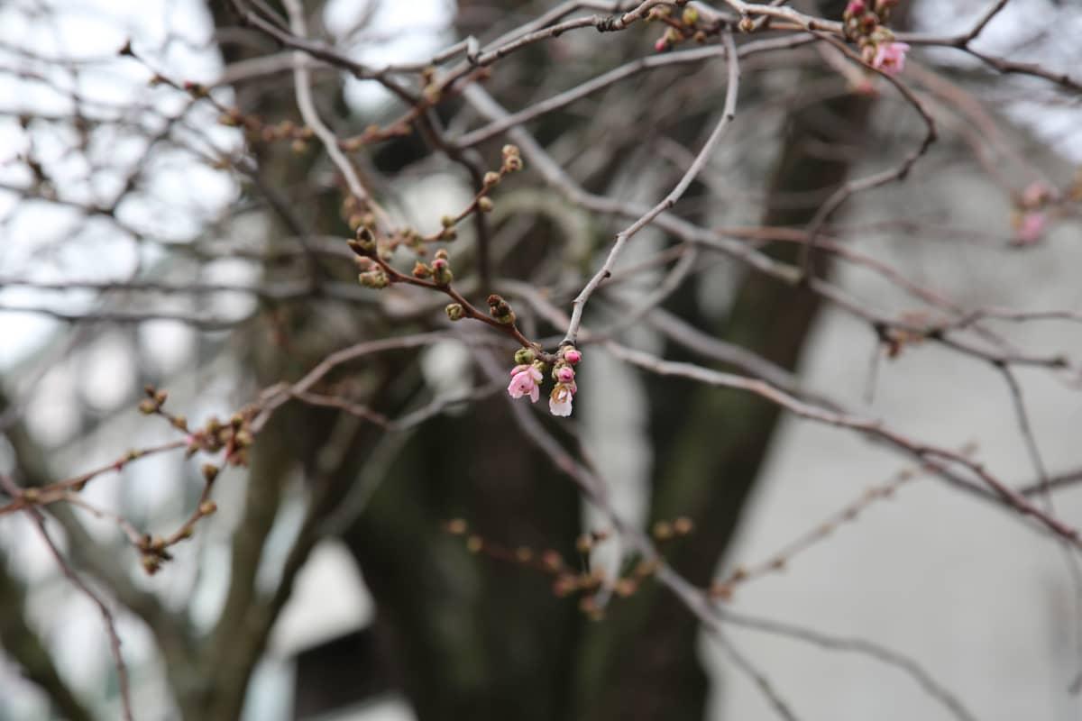 Kirsikkapuut kukkivat osittain Turun Aurajokirannassa.