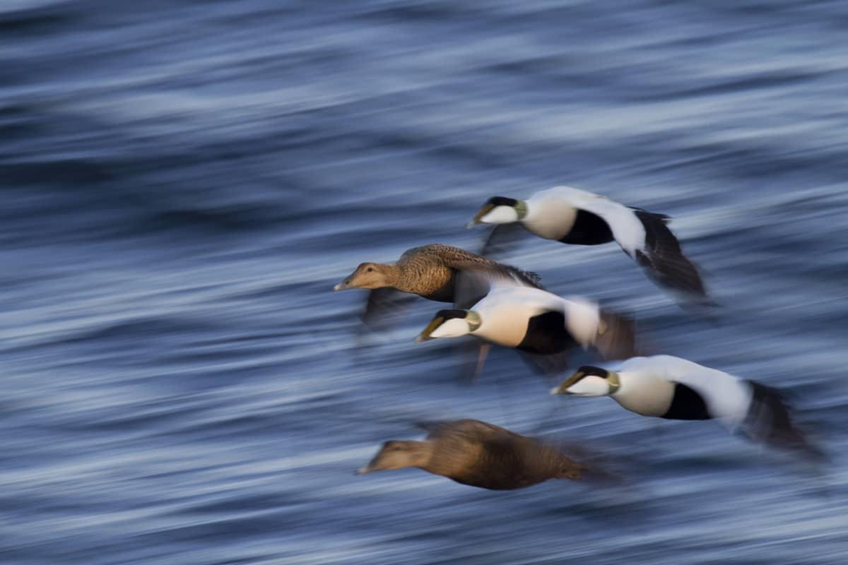 Viisi haahkaa lentää lähellä vedenpintaa.
