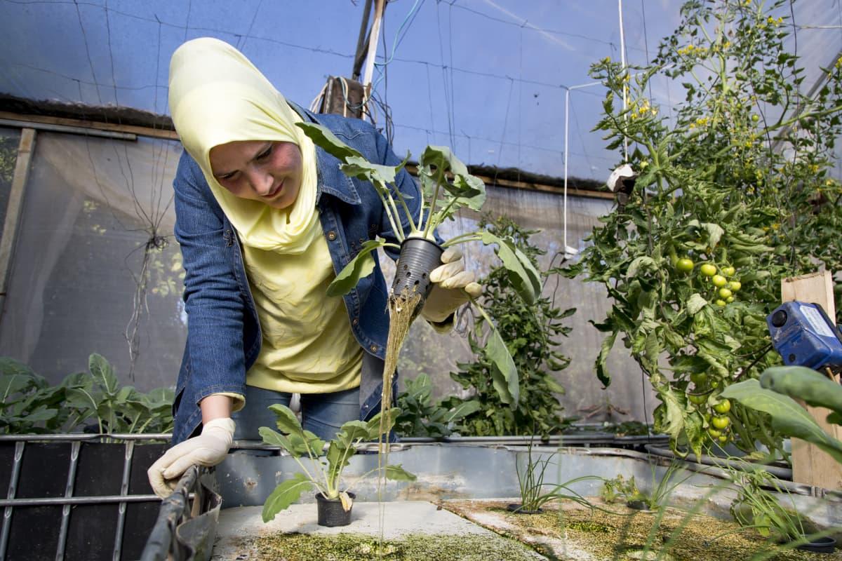Erada AlZainan kasvihuoneessa ja nostaa ilmaan kasvin.