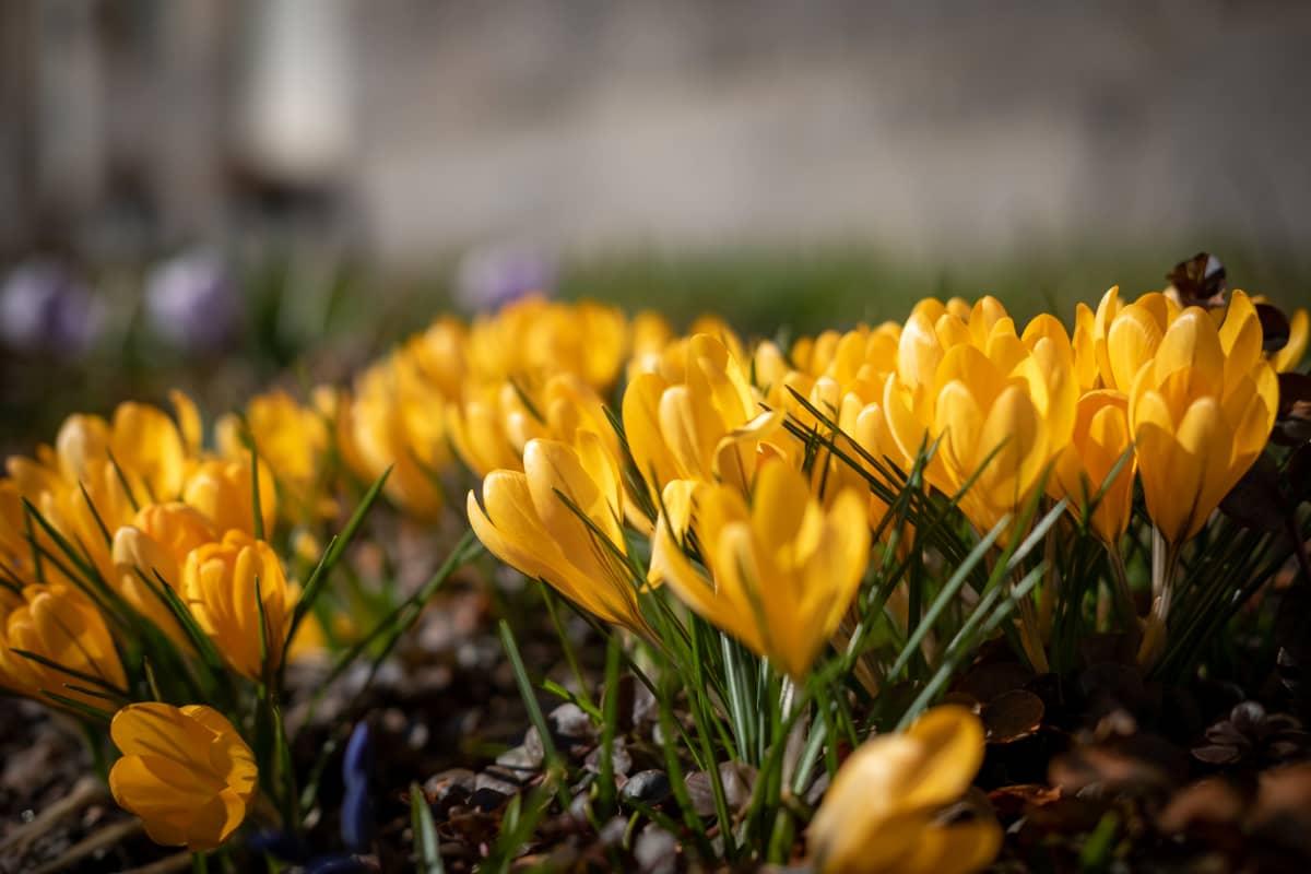 Krookukset kukkii Sipoossa 20.3.2020.