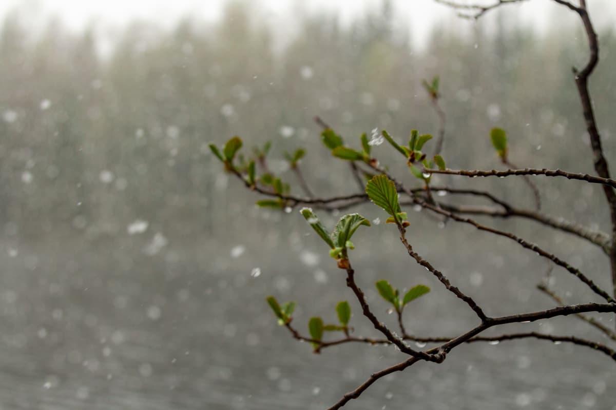 Lepän oksa hiirenkorvilla lumisateisessa maisemassa