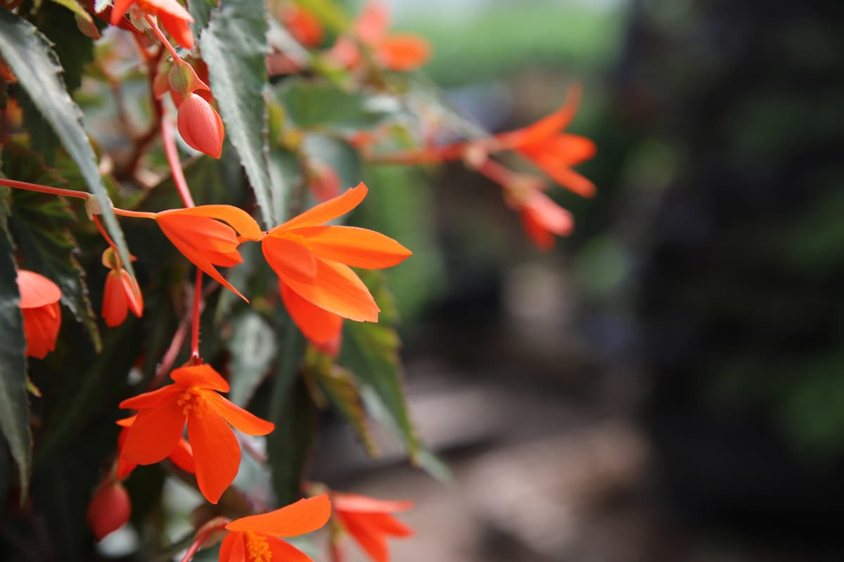 oranssi kesäkukka
