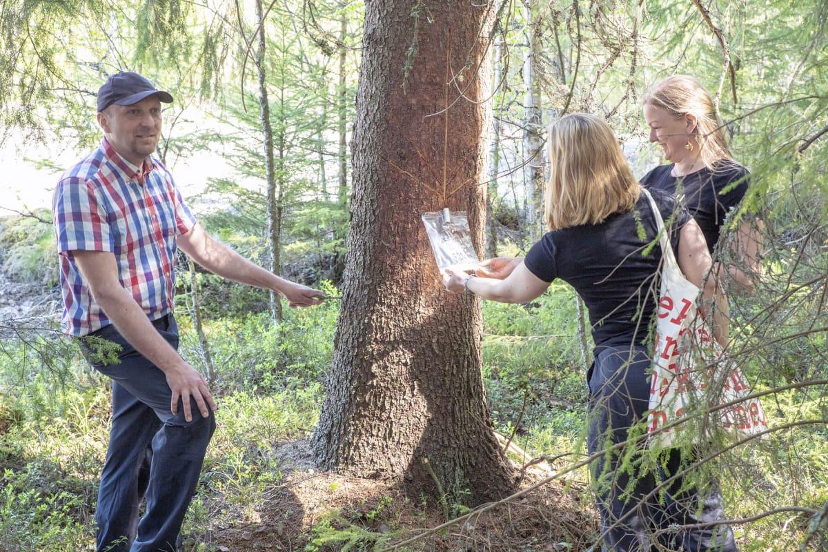 Metsäkeskuksen Marko Ämmälä ja Fiini Naturallyn yrittäjät Essi Rintamäki ja Heidi Sivula tarkkailevat pihkan valuttamista Lapualla.