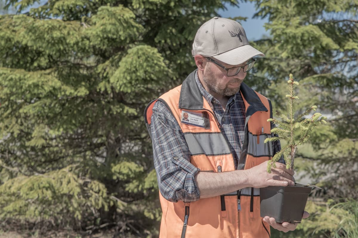 Kokkolan kaupungin metsätalousinsinööri Ahti Räinä tarkastaa mutanttikuusen tainta.
