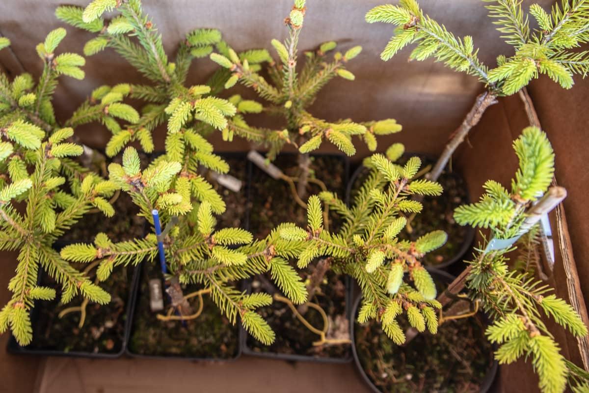 Mutanttikuusen taimia pahvilaatikossa Kokkolan paupunginpuutarhalla.