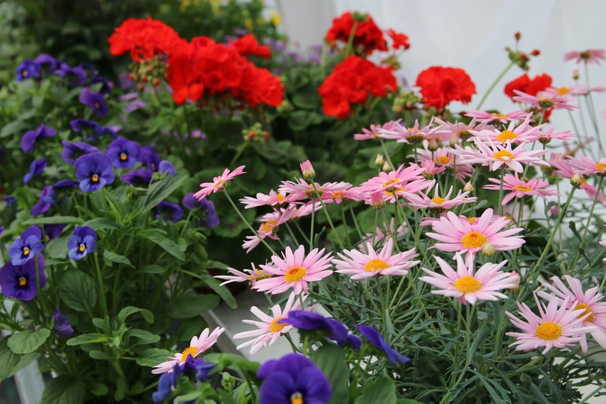 kukkia Niskan puutarhalla Rovaniemellä