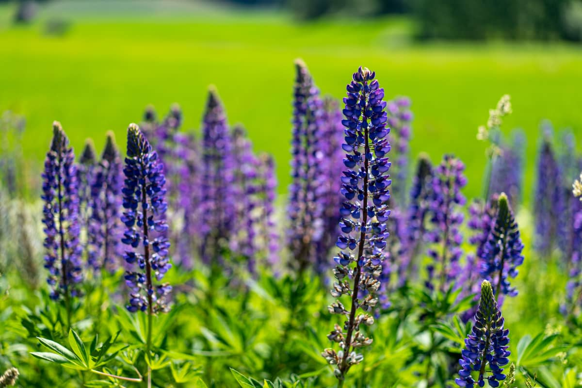 Lupins on the edge of the field.