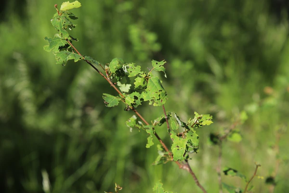 Lumimittarin toukan syömiä lehtiä metsässä Jaalassa.