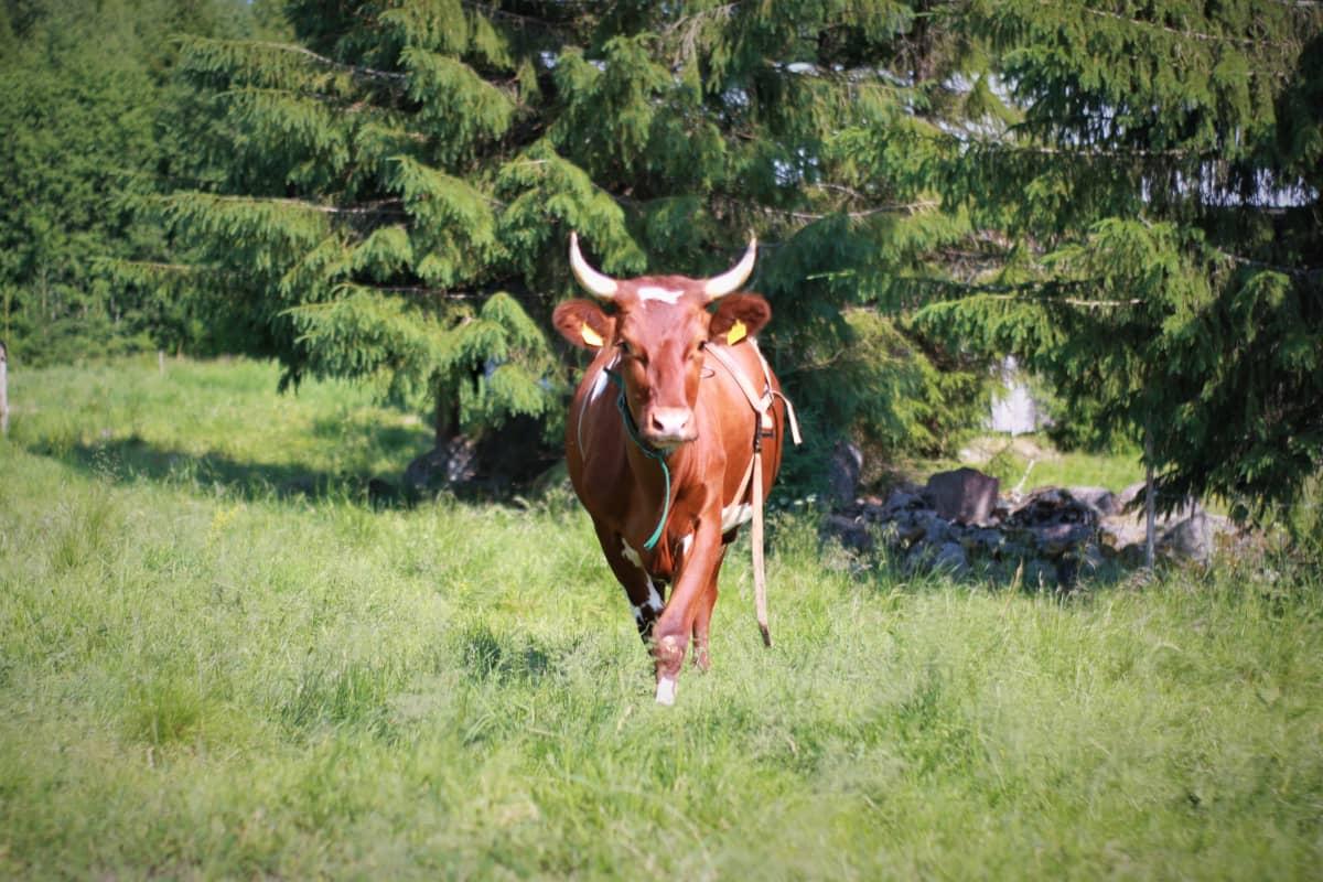Ruskeavalkoinen lehmä laitumella.
