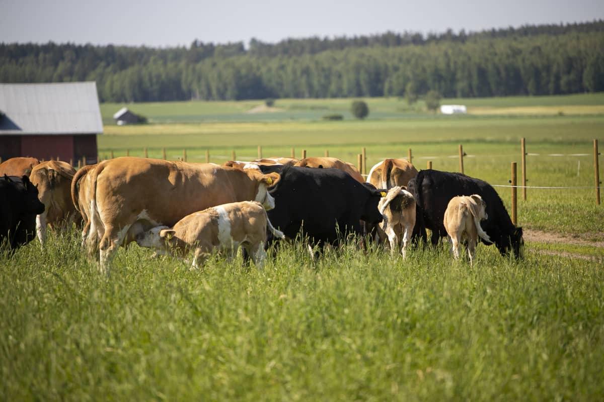 Lehmiä Hirvilammen luomun laitumella.