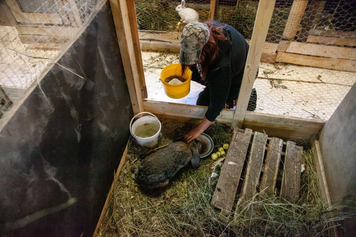 Hanne Rinkinen syöttää Salakannanrannan tilan vanhinta kania, 4-vuotiasta Ramboa.