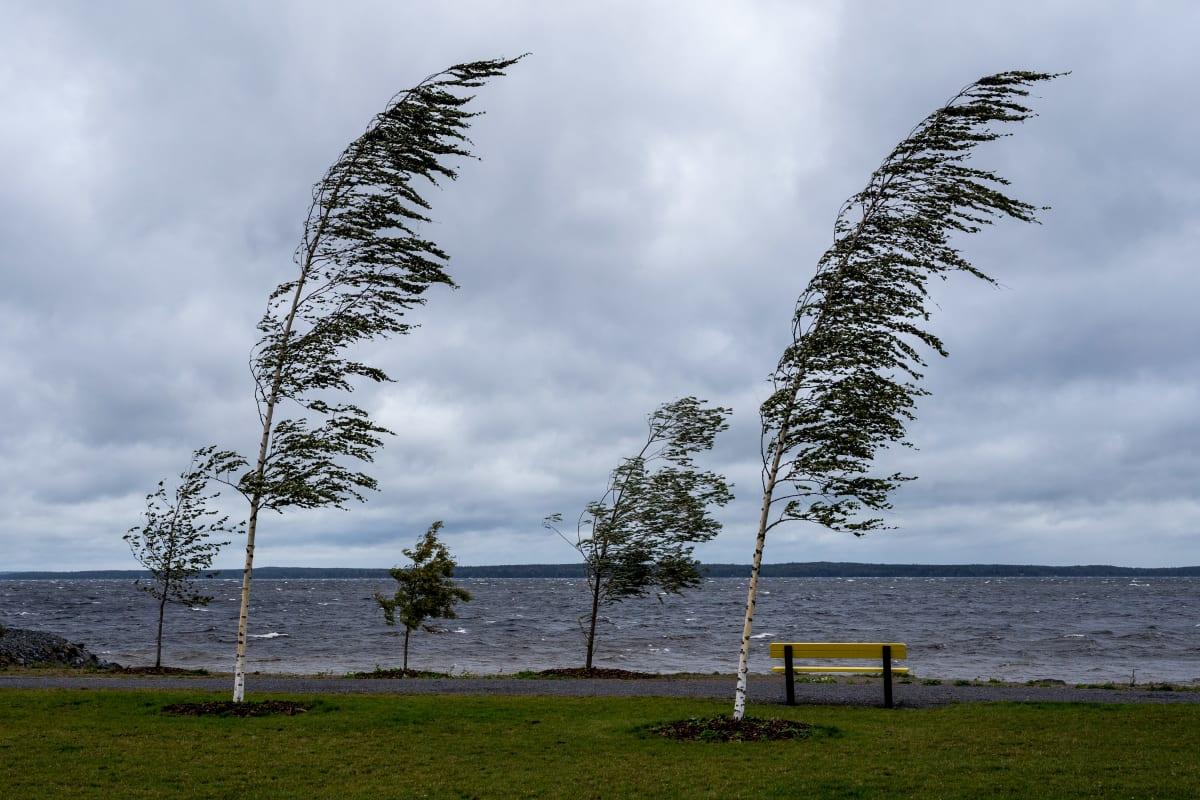 Kova tuuli painaa puita kaarelle.