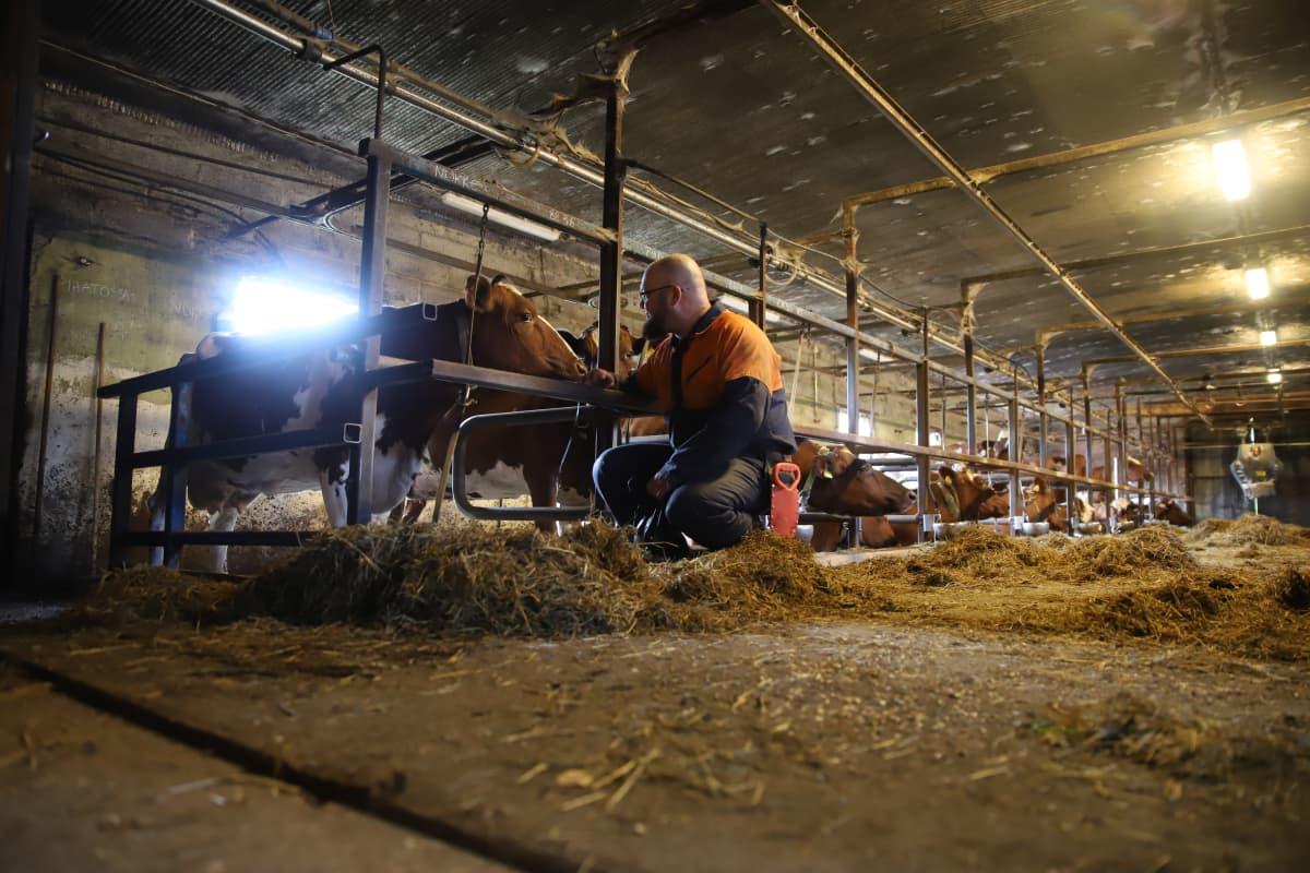Marko Kuukkanen Nukke-lehmänsä kanssa navetassa.