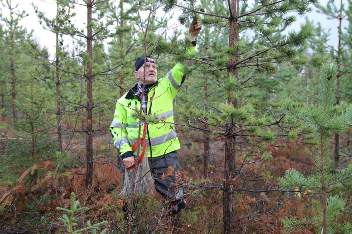Juha Kinnunen poimii käpyjä Metsähallituksen keräyksessä lokakuussa 2020