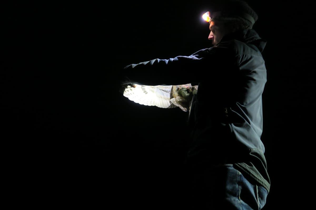 Aleksi Lehikoinen tutkii sarvipöllön siipeä.