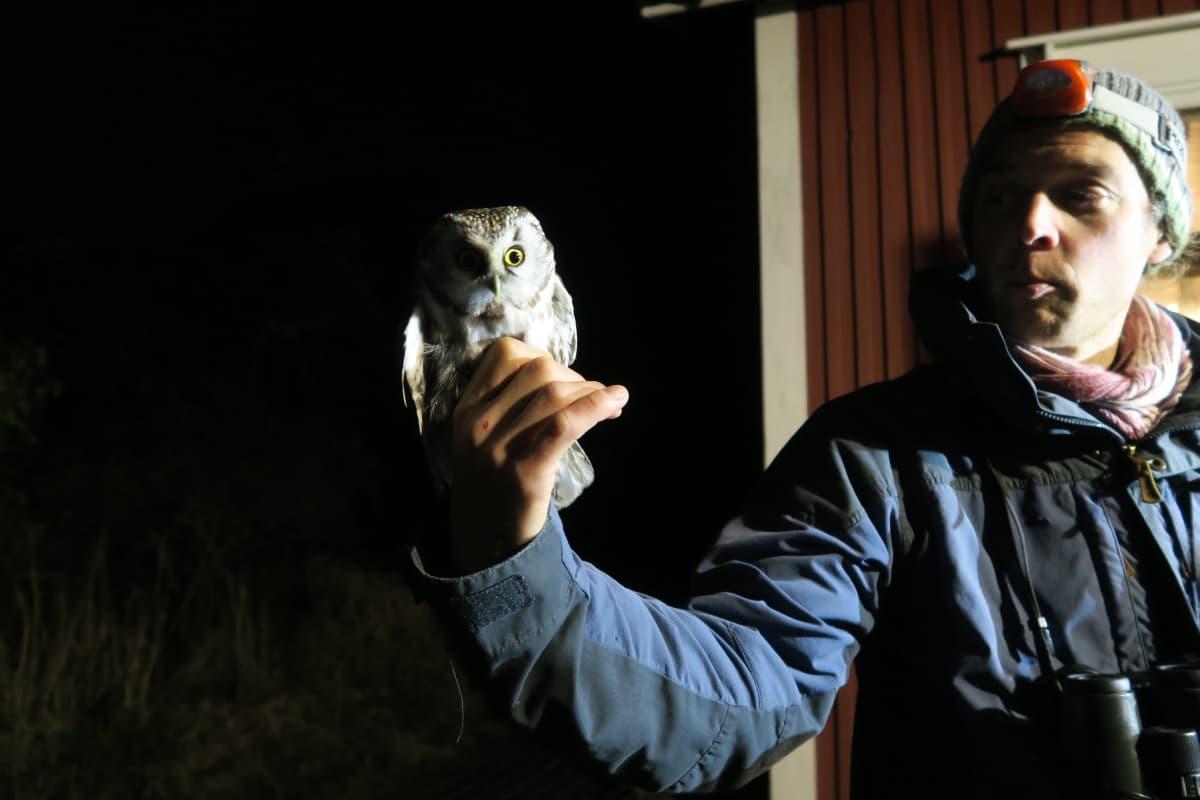 Hangon lintuasemalla rengastettu helmipöllö intendentti Aleksi Lehikoisen kädessä.