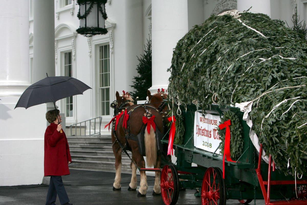 Presidentin puoliso Laura Bush ottamassa vastaan Valkoisen talon joulukuusta 30. marraskuuta 2008. Seremonia on vuotuinen valokuvaustilaisuus.