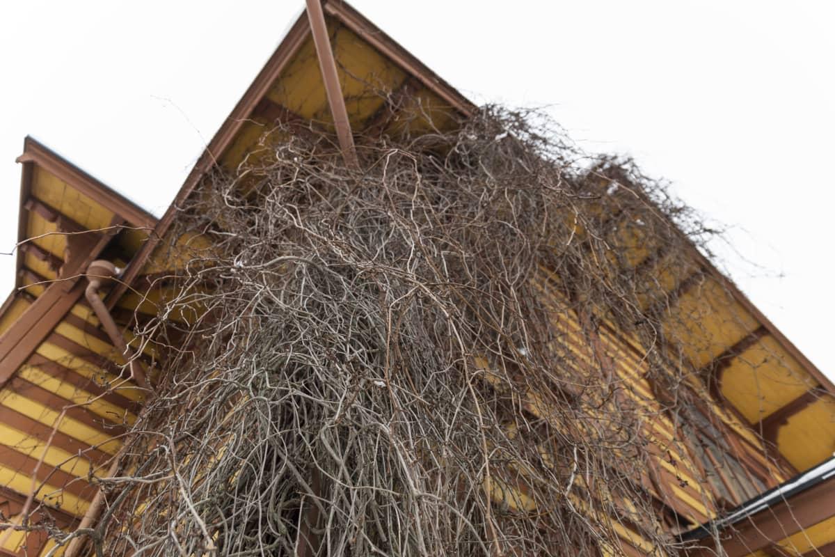 Aino Acktén huvilan seinustalla kasvava köynnöskasvi.