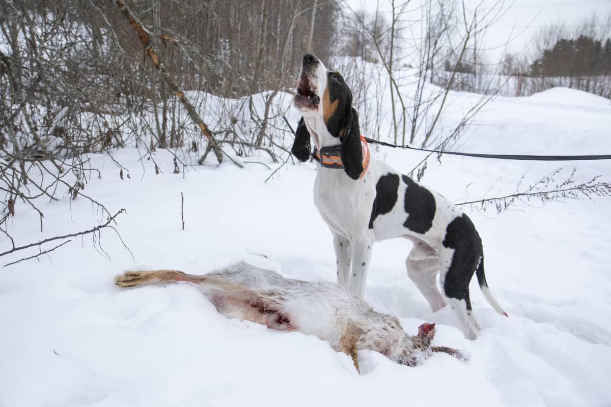 Rusakko makaa hangella ja metsästyskoira ulvoo vieressä