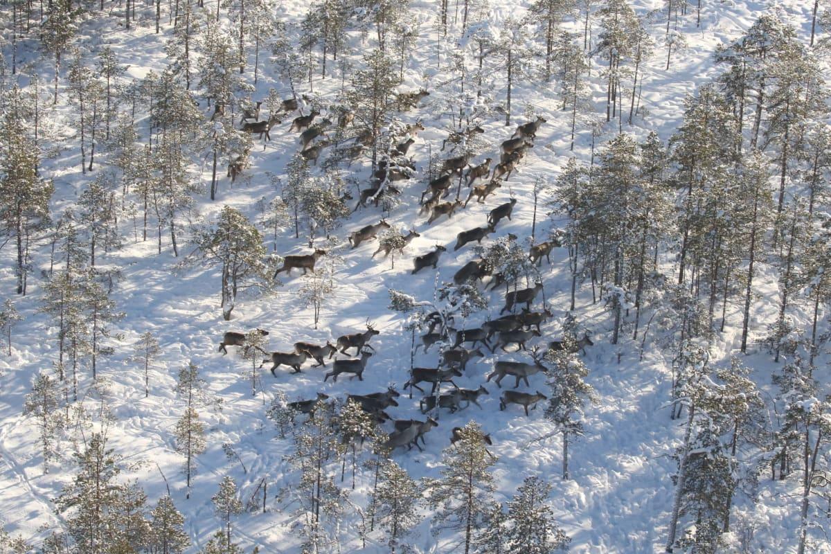 metsäpeuroja lumisessa maastossa