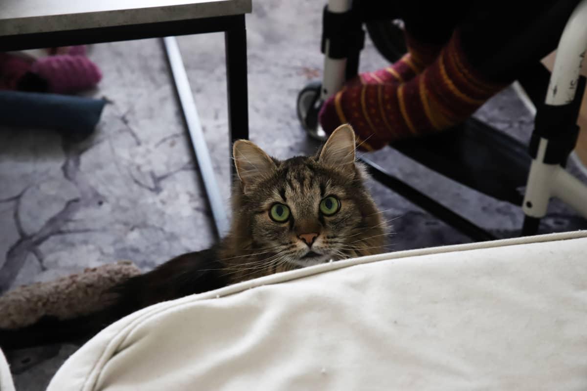 Kotkalaisen Saara Niemen kissa.