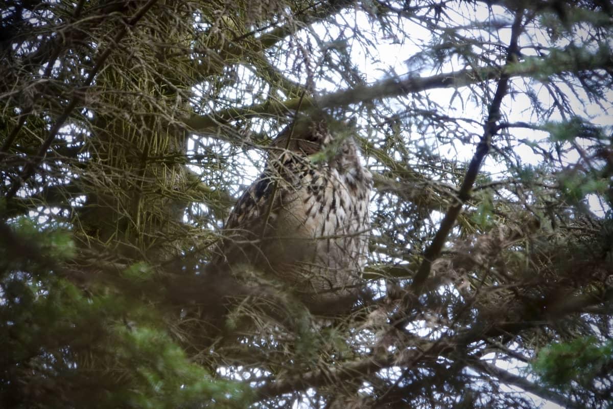 Huuhkaja istuu päiväunilla puussa Helsingin Viikissä.