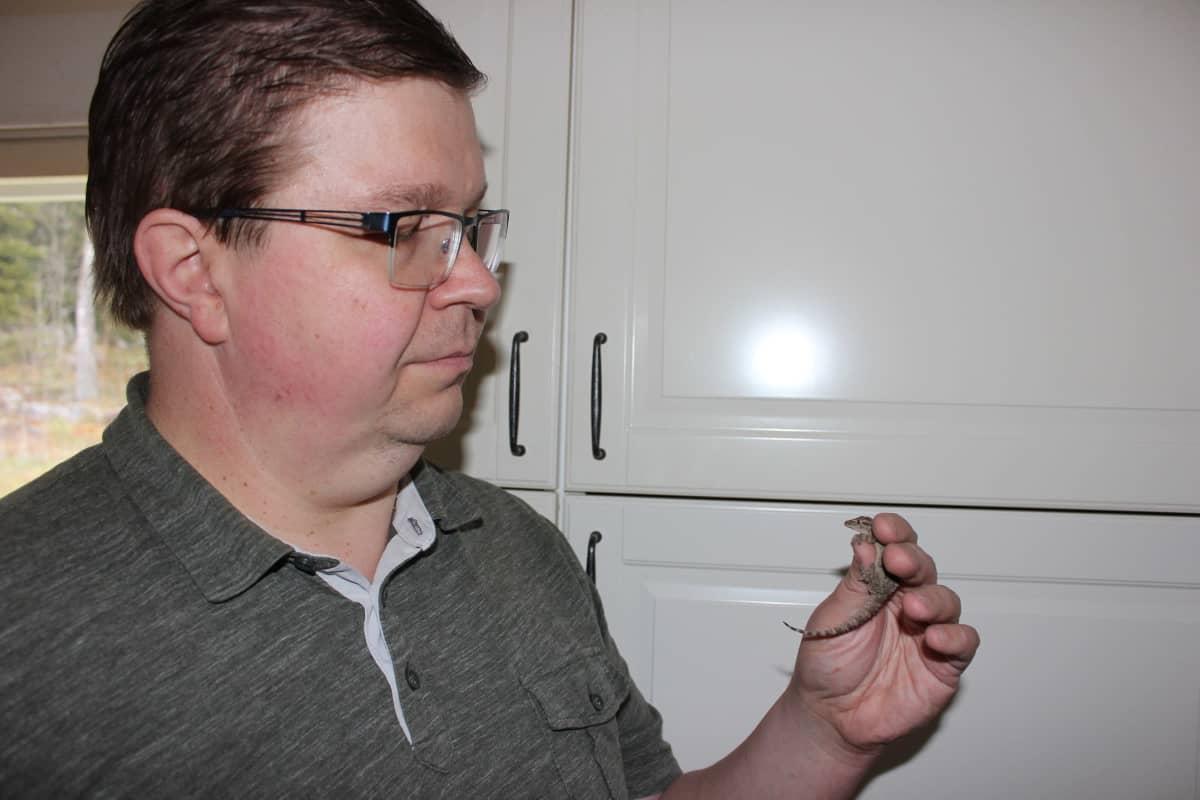 Herpetologi Joonas Gustafsson tarkastelee muurigekkoa.