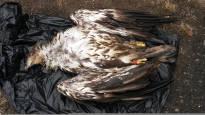 Merikotkien yleisimmät kuolinsyyt: luonnollinen kuolema ja lyijymyrkytys