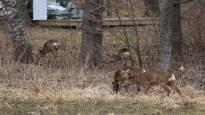 Metsäkauriit villiintyivät Kotkassa: Yksi ilmestyi sairaalaan, toinen voimalaitokselle ja kolmas löytyi kuolleena yleisötapahtumassa