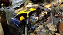 Suomen Akatemialta yli 400 000 euroa sammakoiden kannibalismin tutkimukseen