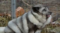 Turkiseläinten kasvattajien liitto: Löytökettu peräisin villiltä tilalta